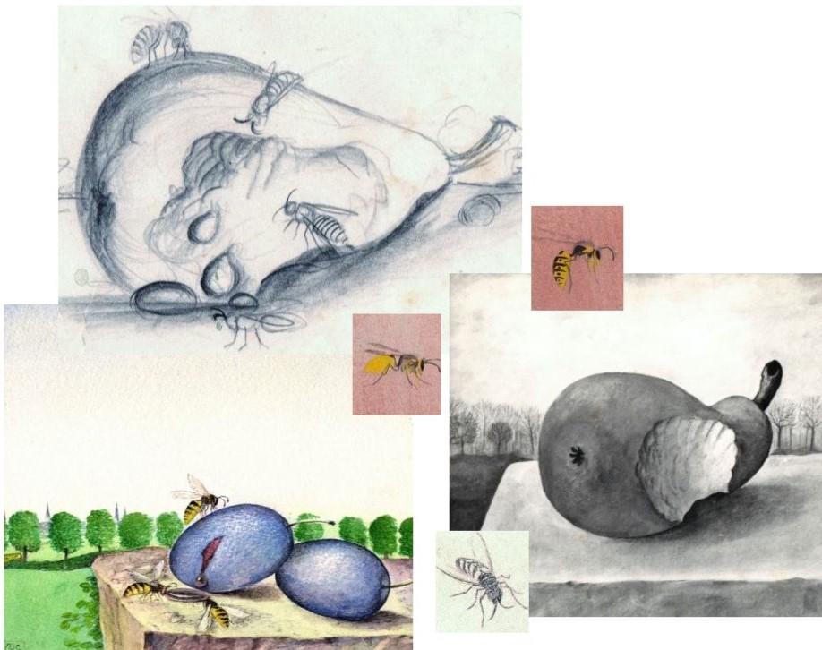 Schets van peren en wespen getekend door Hilmar Schäfer